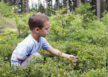 Child picking blueberries stock images