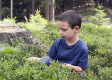 Child picking blueberries Stock Photography