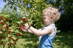 Child picking currants in the garden Royalty Free Stock Photos