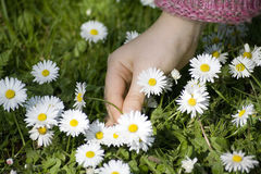 Free Child Picking Daisies Royalty Free Stock Photography - 8934847