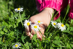 Child picking daisies Royalty Free Stock Images