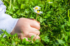 Child Picking Daisies Stock Image