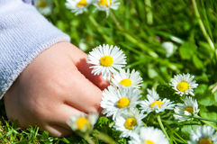 Child Picking Daisies Stock Photos