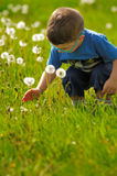 Child picking dandelion Royalty Free Stock Photography