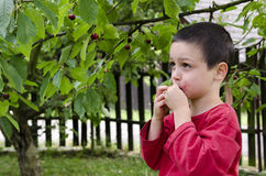 Child picking and eating cherries Stock Photography