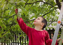 Child picking and eating cherries Royalty Free Stock Photo