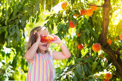 Child picking and eating peach from fruit tree. Little girl picking and eating fresh ripe peach from tree on organic pick own fruit farm. Kids pick and eat tree Royalty Free Stock Photos