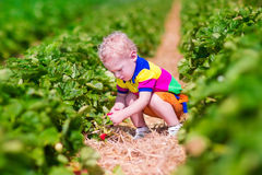 Child picking fresh strawberry on a farm Stock Images