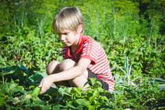 Child picking fresh vegetables in the garden at summer day. Family, healthy, gardening, lifestyle concept Stock Photos