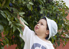 Child picking plum Stock Photo
