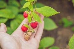 Child picking raspberry. Kids pick fresh fruit on organic raspberries farm. Children gardening and harvesting berry. Toddler kid stock image