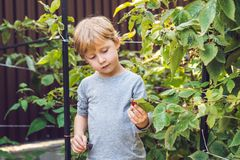 Child picking raspberry. Kids pick fresh fruit on organic raspbe. Rries farm. Children gardening and harvesting berry. Toddler kid eating ripe healthy berries Stock Image