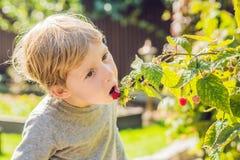 Child picking raspberry. Kids pick fresh fruit on organic raspberries farm. Children gardening and harvesting berry. Toddler kid. Eating ripe healthy berries royalty free stock photos