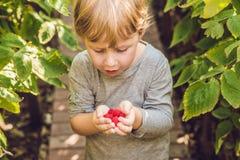 Child picking raspberry. Kids pick fresh fruit on organic raspbe. Rries farm. Children gardening and harvesting berry. Toddler kid eating ripe healthy berries Royalty Free Stock Photos