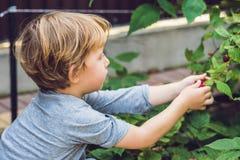 Child picking raspberry. Kids pick fresh fruit on organic raspbe. Rries farm. Children gardening and harvesting berry. Toddler kid eating ripe healthy berries Stock Photos