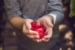 Child picking raspberry. Kids pick fresh fruit on organic raspbe. Rries farm. Children gardening and harvesting berry. Toddler kid eating ripe healthy berries Stock Photo
