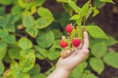 Child picking raspberry. Kids pick fresh fruit on organic raspberries farm. Children gardening and harvesting berry. Toddler kid e. Ating ripe healthy berries Stock Photography