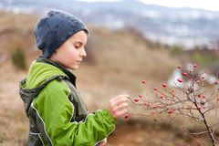 Child picking red berries. Boy picking red berries (briar) outdoor in countryside stock photography