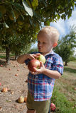 Child Picking Red and Green Apples Royalty Free Stock Photography