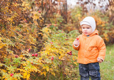 Child picking rose hips from a bush Stock Images