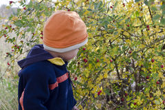 Child picking rose hips Royalty Free Stock Images