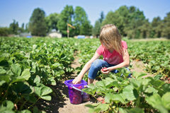 Child picking strawberries at a farm. Little girl picking strawberries at a farm Royalty Free Stock Image