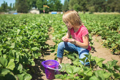 Child picking strawberries at a farm. Young girl picking strawberries at a farm Stock Photography