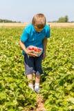 Child picking strawberries Stock Photo