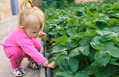 Child picking strawberries. Kids pick fresh fruit on organic strawberry farm. Children gardening and harvesting. Toddler kid eating ripe healthy berry. Outdoor stock image
