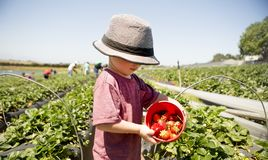 Child Picking Strawberries in Sunny Strawberry Field. Set against a sunny, green strawberry field with workers in the background, a child wearing a hat holds a stock photos