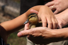Child Picking up Baby Duck. From Parents Hands royalty free stock photo