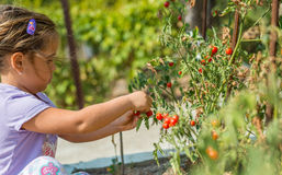 Child is picking up cherry tomatoes from ecological homemade garden. Bulgaria. Stock Photography