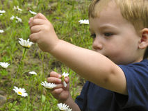 Child picking White Flowers. Child picking White Wild Flowers in a Field Stock Photos