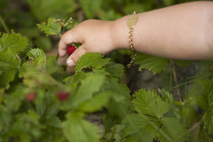 Child picking a wild strawberry Stock Images