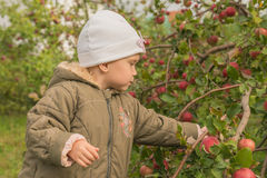 The child picks apples Royalty Free Stock Photography