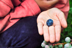 Child picks bluberries and keeps berry in the palm Royalty Free Stock Photography