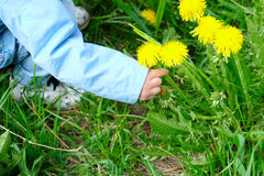 Child picks dandelions Stock Images