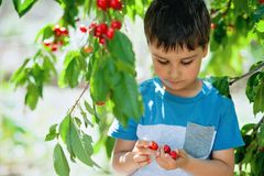 Child pics a cherry from the tree. healthy childhood, vacations in the village.  stock images