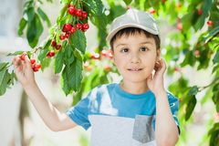 Child pics a cherry from the tree. healthy childhood, vacations in the village. Boy witn berries royalty free stock photography