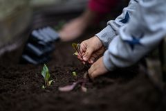Child planting seedlings. Closeup view of child hands planting beet seedling in to the fertile soil stock photography