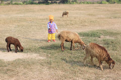 The child is playing with four sheep. Child is standing in the field with sheep Royalty Free Stock Photography