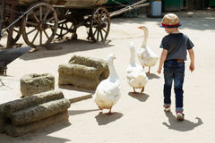 Child playing with geese at pet zoo Royalty Free Stock Images