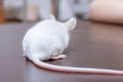 Child playing with pretty cute little white laboratory mouse royalty free stock image