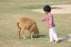 The Child is playing. Child is playing with sheep in the field Stock Photography