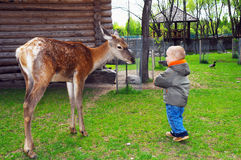 Child playing with a young deer Royalty Free Stock Image