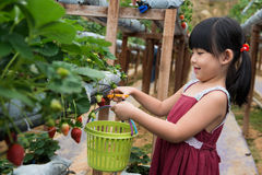Child pluck strawberry Royalty Free Stock Images
