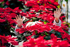 Child with poinsettias. Little girl hidden between poinsettias Stock Photo