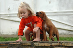 Child and puppy pet. An actice little girl toddler child playing with her best friend, a Rhodesian Ridgeback dog pet. The puppy animal is pulling her hair. That' royalty free stock image