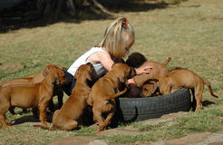 Child and puppy pets. An active little girl toddler child playing with a litter of Rhodesian Ridgeback puppies. The pets are interested in her. They are best Stock Images