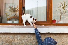 Child reaching to pet cat. Child reaching to pet spoiled cat Royalty Free Stock Photo